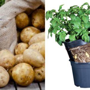 Potato pot and seeds combo