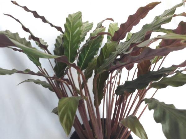 Calathea Rufibarba 19cm Pot