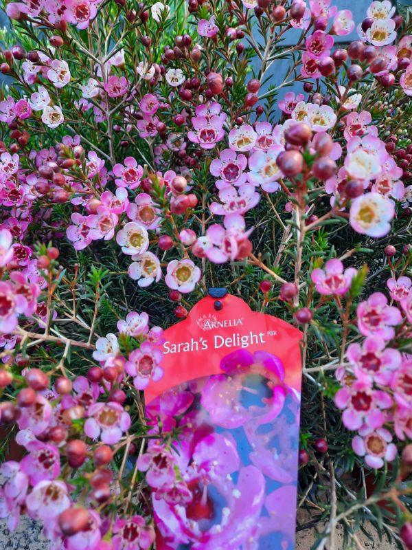 Geraldton Wax 'Sarah's Delight'
