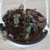 Ceropegia 15cm hanging bowl (String of hearts)