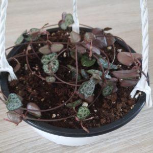 Ceropegia 15cm hanging bowl (String of hearts)