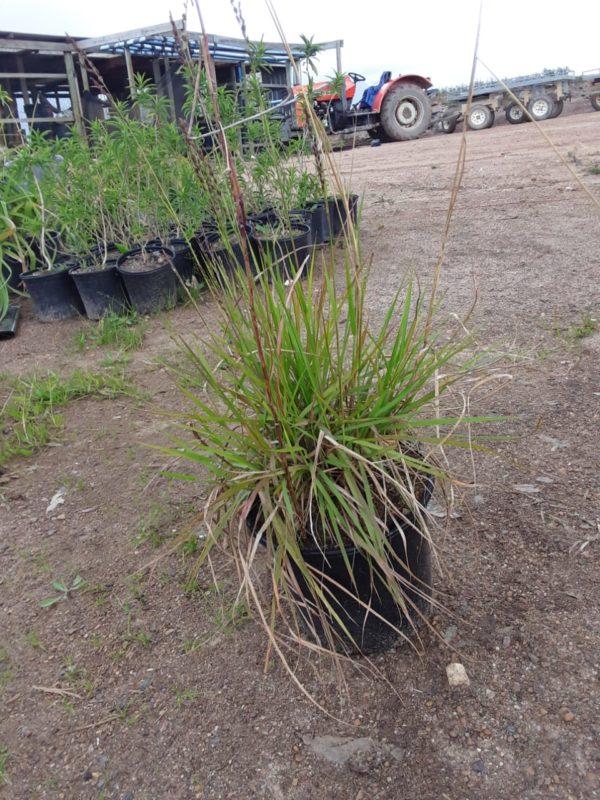 Eragrostis Capensis