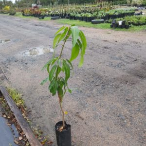 Mango Tree 5lt