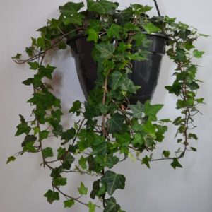 Hedera Helix Ivy 21cm HB