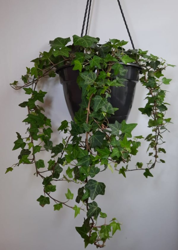 Hedera Helix Ivy 21cm HB