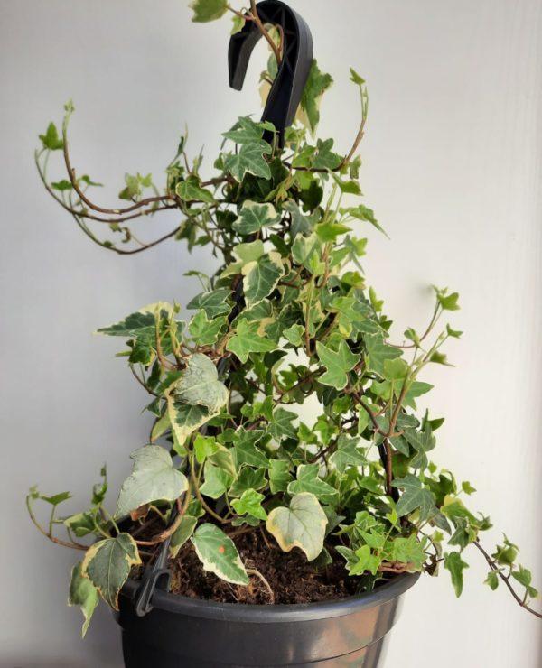 Common Ivy, English Ivy