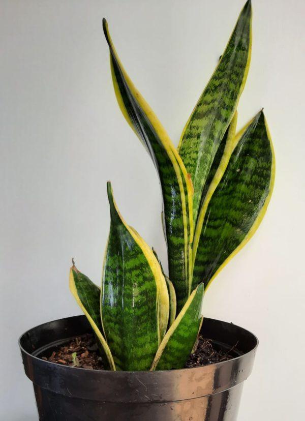 Snake Plant Hanii