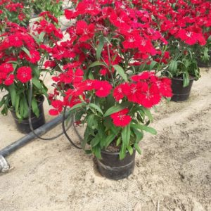 Dianthus Red