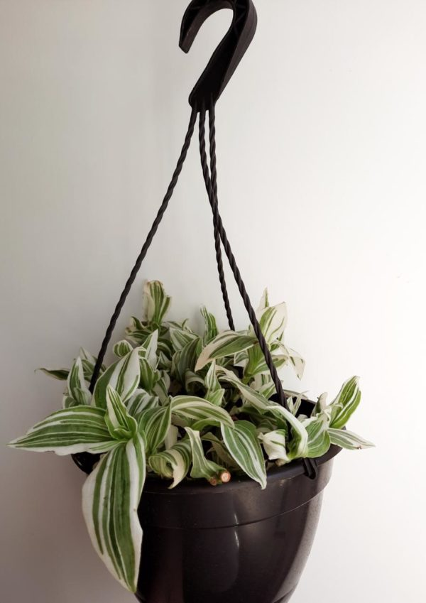 Tradescantia Albiflora Albovit