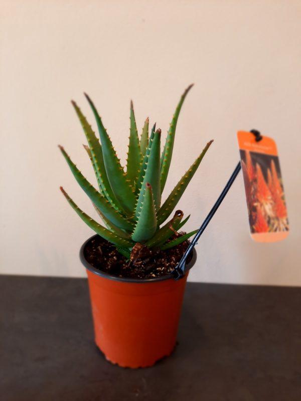 Aloe Bushwhacker