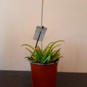 Aloe Lemondrops
