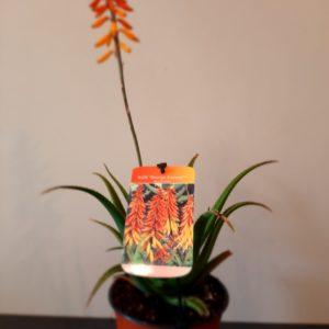 Aloe Orange Express