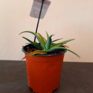 Aloe Peri Peri