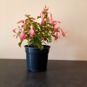 Fuchsia Beacon Pink
