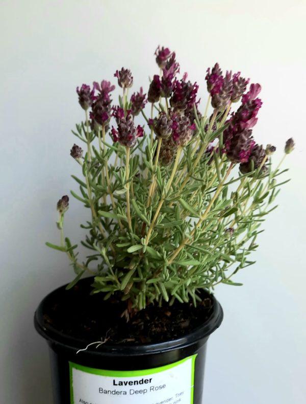 Lavender Bandera Deep Rose 12cm Pot