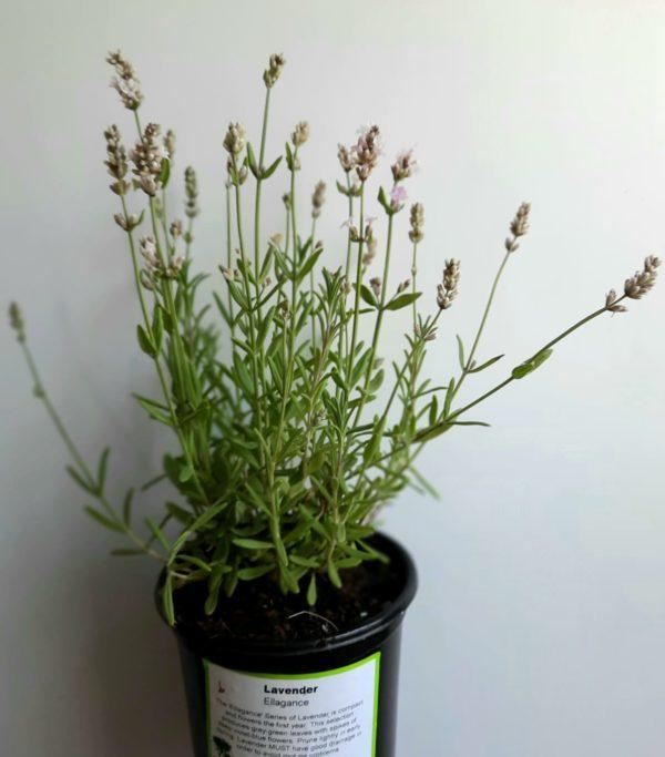Lavender Ellagance 12cm Pot