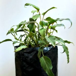 Philodendron Xanadu Dwarf 5lt
