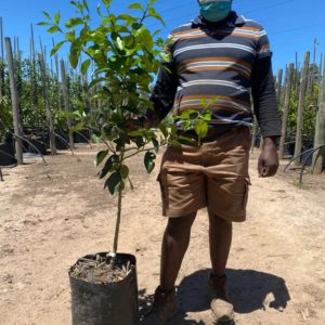 Marsh Grapefruit Tree 20lt