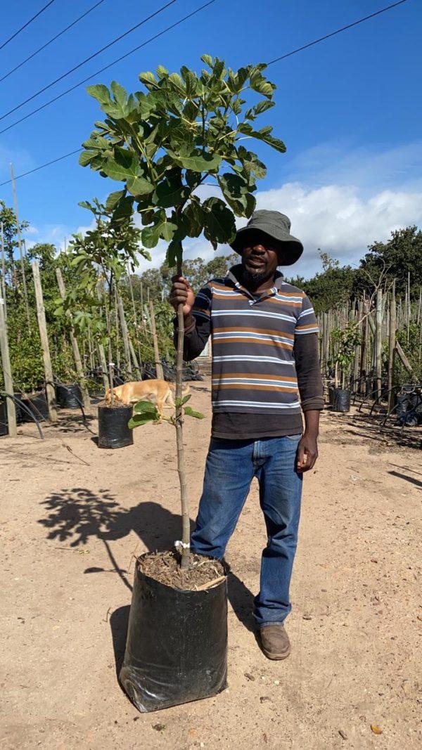 Cape White Fig 40lt