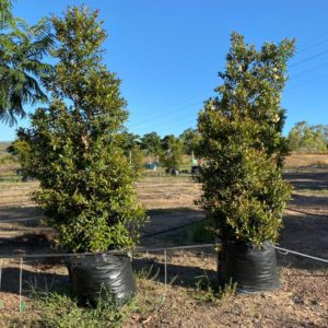 Eugenia Tree