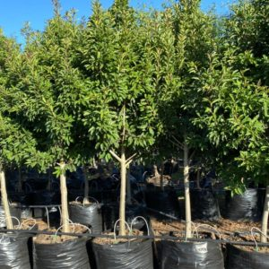Ilex Mitis cape holly