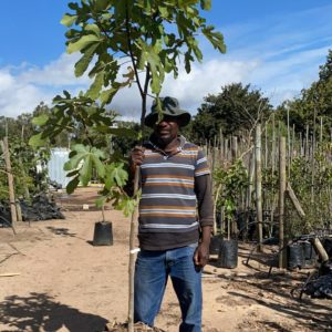 Southern Black Fig 40lt