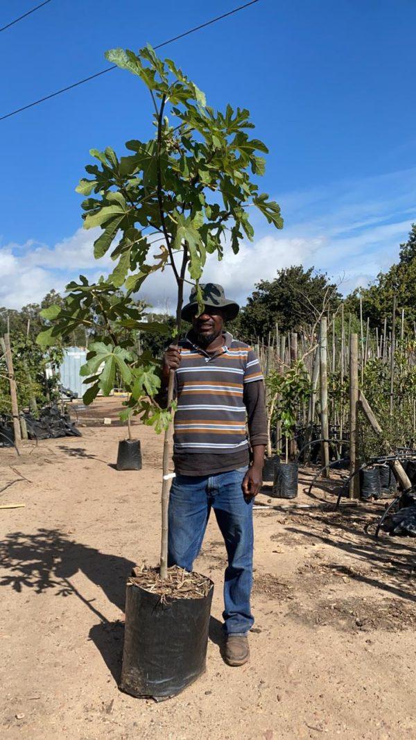 Southern Black Fig 40lt