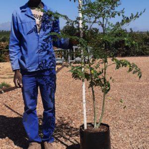 Moringa Oleifera 20lt