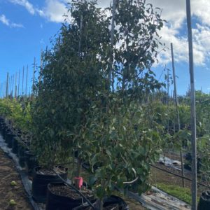 Pear Tree 125lt