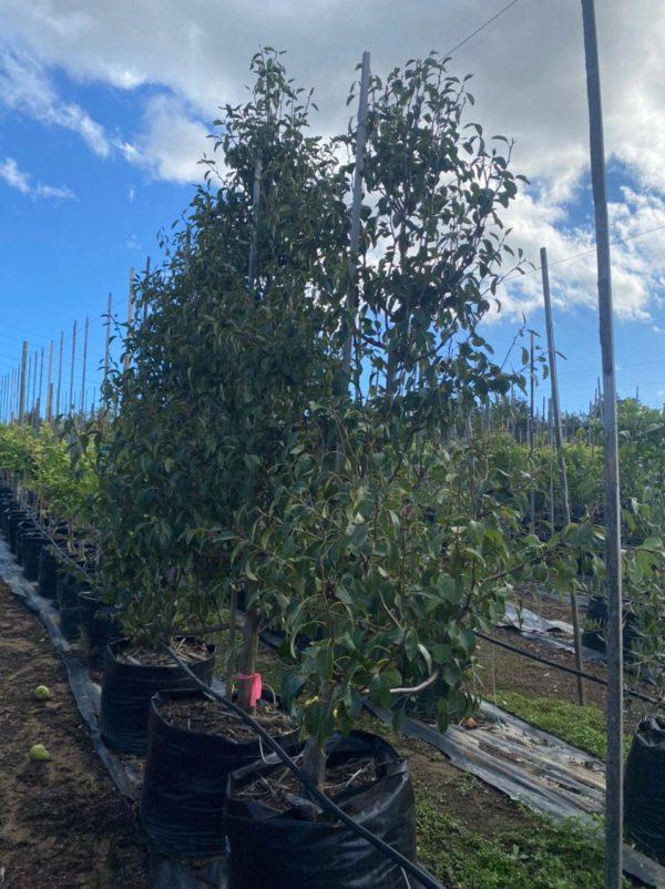 Pear Tree 125lt