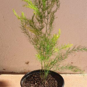 Asparagus 15cm Pot