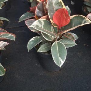 Ficus Tineke 19cm Pot