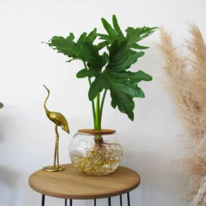 Fishbowl with Philodendron Selloum 20cm