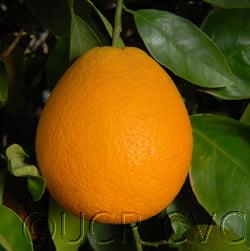 Midknight Valentia Orange Tree 20lt