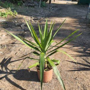 Yucca Tip Green