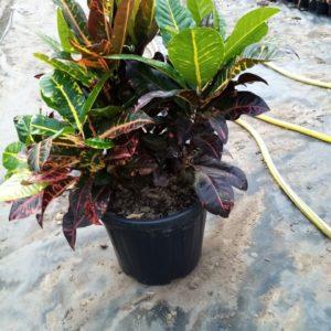 Croton 20cm