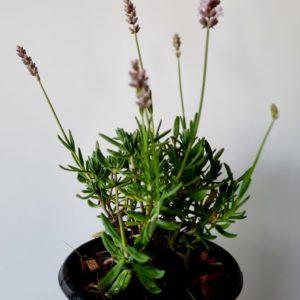 Lavender Ellagance Pink 12cm Pot