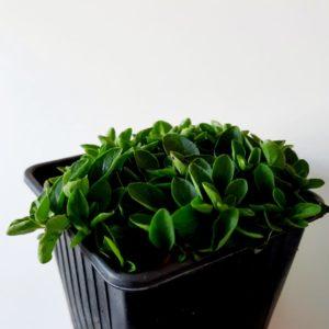Origanum Small Leaf