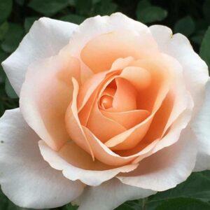 Rose Clocolan