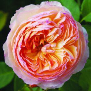 Rose French Panarosa