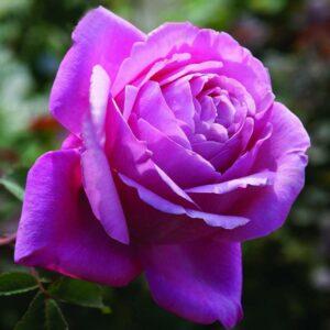 Towering Rose Magic