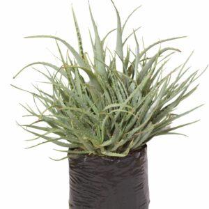 Aloe Arborescens Matthews 10lt