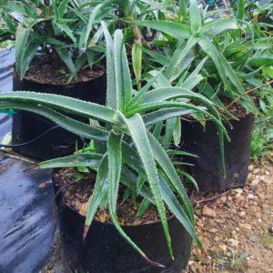 Aloe Striatula 10lt