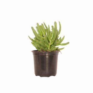Cotyledon Daphne 12cm Pot