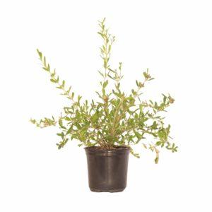 Freylinia Tropica White 12cm Pot