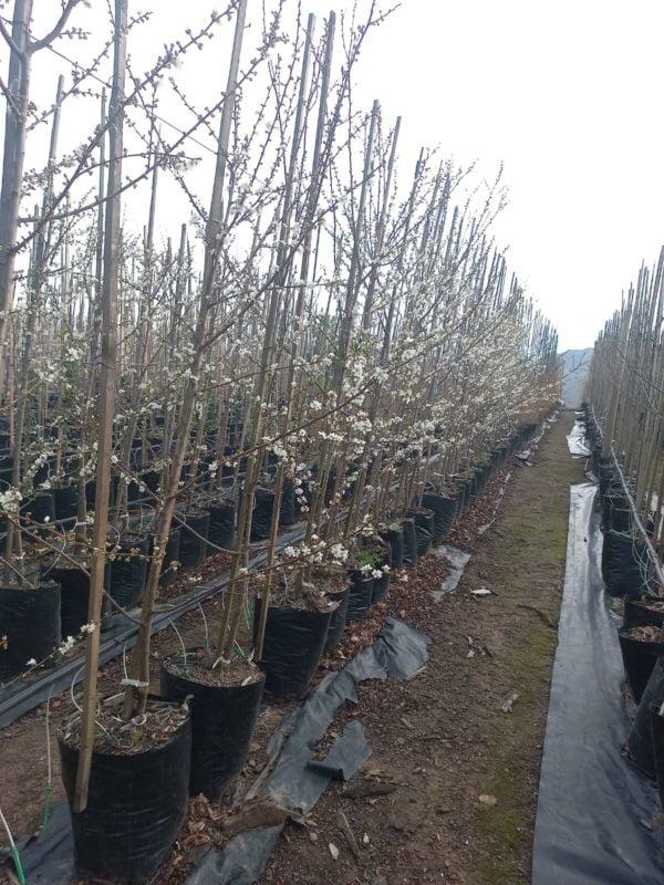 Plum Tree 40lt