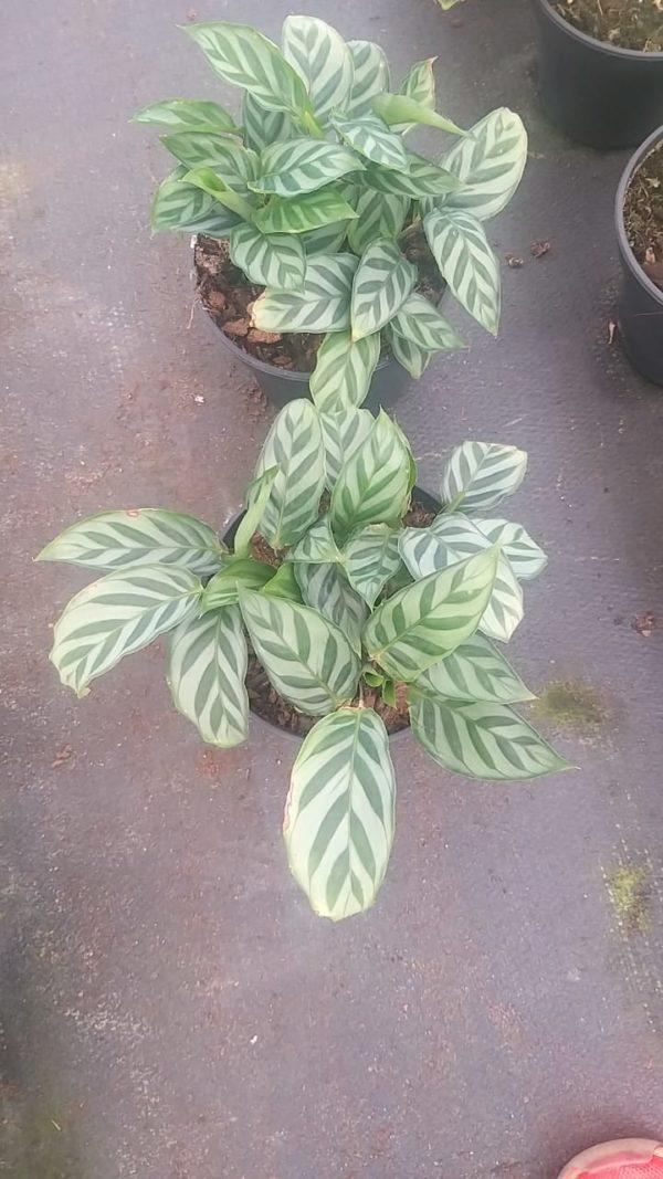 Calathea Freddie 14cm Pot