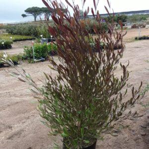 Sand Olive Dodonaea Viscosa Purpurea